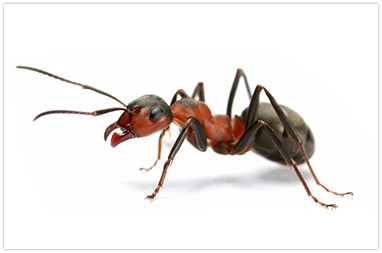Natural Way To Kill Fire Ants In Yard