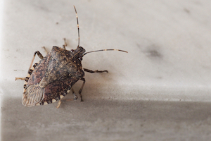 what do stink bugs want?