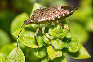 what do stink bugs look like?