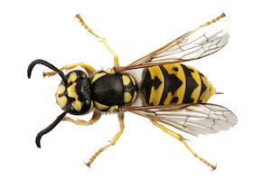 common wasp pest